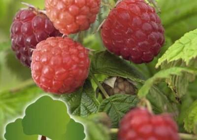 Frutos Pequenos